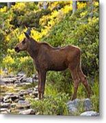 Baby Moose Baxter State Park Metal Print