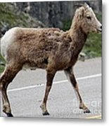 Baby Mountan Goat Crossing Road Metal Print