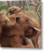 Baby Orphans Explore Imenti Tsavo Kenya Metal Print