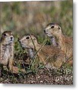 Baby Prairie Dogs Metal Print