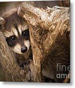 Baby Raccoon Metal Print