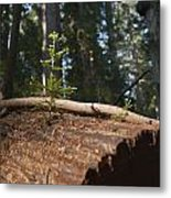 Baby Redwood Metal Print