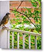 Baby Robin - Such A Big World Metal Print