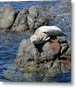 Baby Sea Lion On Rock At San Juan Island Metal Print