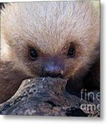 Baby Sloth 2 Metal Print