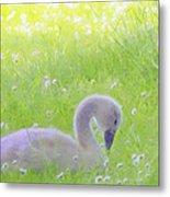 Baby Swans Enjoy A Summer Day Metal Print