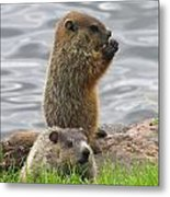 Baby Woodchucks Metal Print