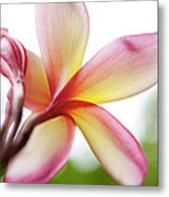 Back Of Plumeria Flower Metal Print