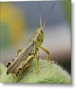 Back Side View Of Green Grasshopper....   # Metal Print