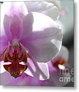 Backlit Orchid Metal Print