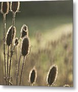 Backlit Teasel Metal Print