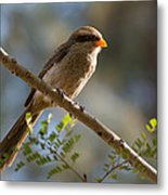 Backlit Yellow Billed Shrike Metal Print