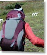 Backpacker Watches Dall Sheep Metal Print
