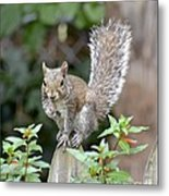 Backyard Burglar Metal Print