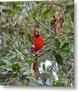 Backyard Cardinal In Tree Metal Print