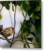 Bad Hair Day-female Northern Cardinal Metal Print
