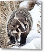 Badger In The Snow Metal Print