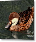 Bahama Pintail Duck Metal Print