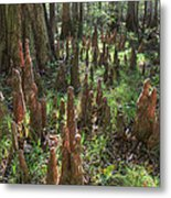 Bald Cypress Knees In Congaree National Park Metal Print