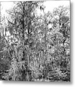 Bald Cypress Swamp In Black And White Metal Print