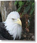 Bald Eagle #3 Metal Print