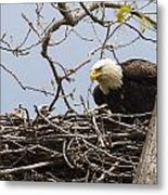 Bald Eagle And Eaglet Metal Print