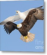 Bald Eagle And Greater Black-backed Gull Metal Print