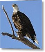 Bald Eagle Ascent 1 Metal Print