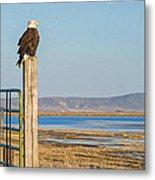 Bald Eagle At Lower Klamath National Wildlife Refuge Metal Print