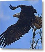 Bald Eagle At Take Off   #6109 Metal Print