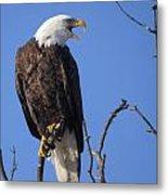 Bald Eagle Calling Metal Print