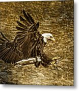 Bald Eagle Capture Metal Print