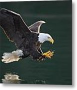 Bald Eagle Catching Fish Metal Print by John Hyde