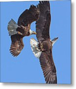 Bald Eagle Chase Over Pohick Bay Drb148 Metal Print