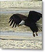 Bald Eagle Coming In For Landing Metal Print by Mitch Spillane