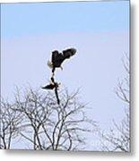 Bald Eagle Courtship Ritual  1338 Metal Print