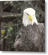 Bald Eagle Metal Print by Dawn Gari