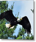 Bald Eagle Feeding 2 Metal Print