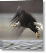 Bald Eagle Flying Alaska Metal Print