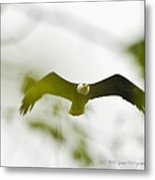 Bald Eagle Flying To Perch Metal Print