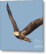 Bald Eagle Flying With Fish Metal Print