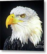 Bald Eagle Hailaeetus Leucocephalus Wildlife Rescue Metal Print