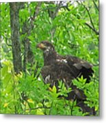 Bald Eagle In A Tree  Metal Print