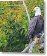 Bald Eagle In Fall Colors Animals Metal Print