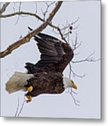 Bald Eagle In Flight Metal Print