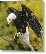 Bald Eagle In Perch Wildlife Rescue Metal Print