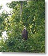 Bald Eagle In Sweetgum Tree Metal Print