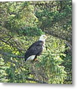 Bald Eagle Metal Print by Jennifer Kimberly