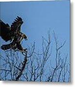 Bald Eagle Juvenile Landing In Tree Top Metal Print