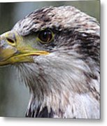 Bald Eagle - Juvenile - Profile Metal Print